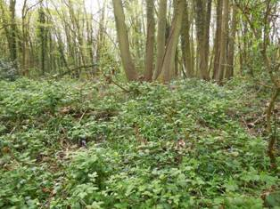 Chapelwood, banks of enclosure and coppicing, April 2014
